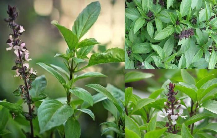 5 loại cây dễ trồng vừa làm thuốc vừa để ăn, chị em mua đảm bảo đáng tiền - Ảnh 3.