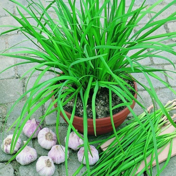 5 loại cây dễ trồng vừa làm thuốc vừa để ăn, chị em mua đảm bảo đáng tiền - Ảnh 7.