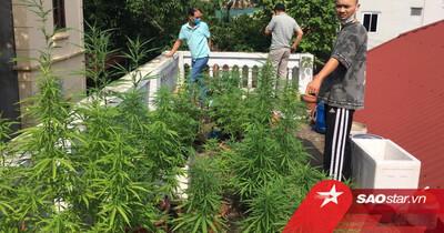 Hà Nội: Phát hiện nam thanh niên ngang nhiên trồng cần sa trên nóc nhà