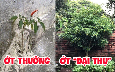 Cô gái khoe cây ớt 'đại thụ' thuộc hàng to lớn nhất Việt Nam, các 'đại gia online' đua nhau vào trả giá cả tỷ vì quá mê