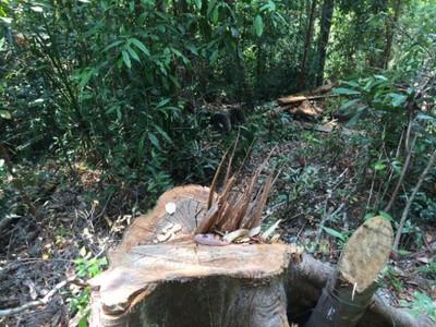 Gia Lai: Ai chịu trách nhiệm về việc mất hơn 3.000 ha rừng?