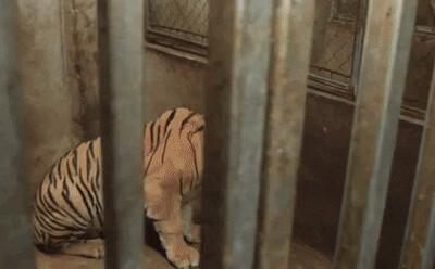 Công an thông tin vụ bắt 2 gia đình nuôi nhốt 17 con hổ lớn trong nhà như nuôi heo