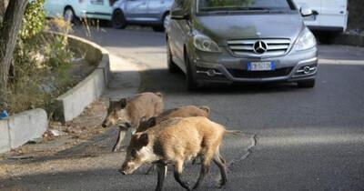 Người dân Rome sợ hãi vì lợn rừng 'tấn công' thành phố