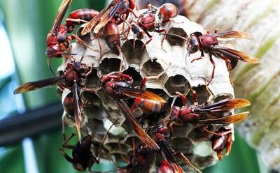 Người đàn ông khỏe mạnh bị ong đốt hơn 150 vết tử vong