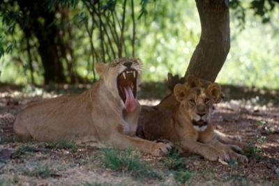 Đi vệ sinh ngoài trời, thiếu nữ bị hai con sư tử đói mồi lao đến ăn thịt