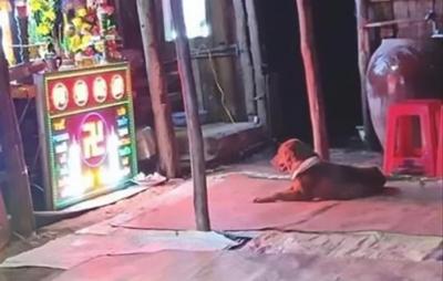 Xúc động hình ảnh chú chó buồn rầu nằm trước bàn thờ sau khi người chủ bị cẩu tặc dùng súng điện bắn chết