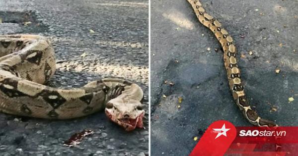 Đi xem 'quái vật' trăn 1,8m nôn ra máu giữa đường, người dân kinh hãi phát hiện sự thật